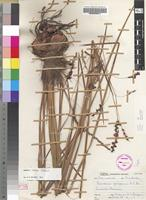 Holotype of Dierama mobile Hilliard [family IRIDACEAE]