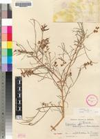 Isotype of Lebeckia halenbergensis Merxm. & A.Schreib. [family FABACEAE]