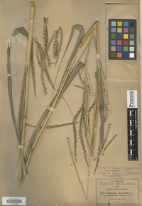 Isotype of Tripsacum dactyloides (L.) L. var. angustifolium Scribn. [family POACEAE]