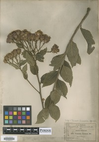 Isotype of Vernonia dictyophlebia Gleason [family ASTERACEAE]