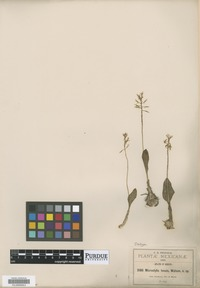 Isotype of Microstylis tenuis S. Watson [family ORCHIDACEAE]