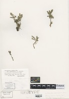 Type of Phragmidium ivesiae subsp. wyomingensis R. Peterson [family PHRAGMIDIACEAE]