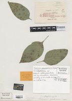 Isotype of Puccinia pindoramae Viégas [family PUCCINIACEAE]