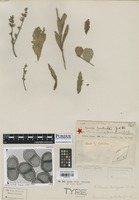 Holotype of Puccinia pertrita Jackson & Holway [family PUCCINIACEAE]
