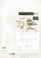 Holotype of Gymnosporangium juvenescens F. Kern [family PUCCINIACEAE]