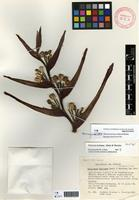 Holotype of Heliconia burleana Abalo & G.Morales [family HELICONIACEAE]