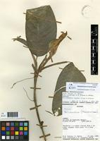 Paratype of Philodendron hooveri Croat & Grayum [family ARACEAE]