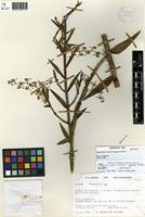 Isotype of Epidendrum molaui Hágsater & Dodson [family ORCHIDACEAE]