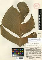 Holotype of Heliconia virginalis Abalo & G.Morales [family HELICONIACEAE]