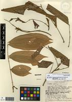 Paratype of Cupania riopalenquensis Dodson & A.H.Gentry [family SAPINDACEAE]