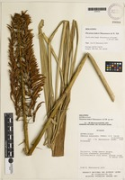 Holotype of Pitcairnia lutheri Manzanares & W. Till [family BROMELIACEAE]