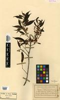 Isotype of Eugenia botequinensis Kiaersk. [family MYRTACEAE]