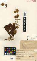 Holotype of Mikania cacerensis G.M.Barroso [family ASTERACEAE]