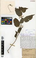 Isotype of Siphocampylus viscidus E.Wimm. [family CAMPANULACEAE]