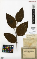 Holotype of Piper saldanhai Yunck. [family PIPERACEAE]