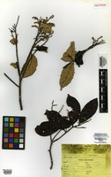 Isotype of Licania bahiensis Prance [family CHRYSOBALANACEAE]