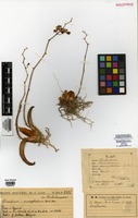 Holotype of Oncidium suscephalum Barb. Rodr. [family ORCHIDACEAE]