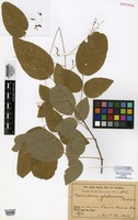 Isotype of Desmodium glabrescens Malme [family FABACEAE]