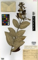 Isotype of Banisteriopsis byssacea B. Gates [family MALPIGHIACEAE]