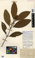 Isotype of Psychotria mamillaris Müll.Arg. [family RUBIACEAE]