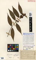 Isotype of Psychotria janeirensis Müll.Arg. [family RUBIACEAE]
