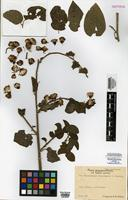 Isotype of Pseudogynoxys chongoensis K. Afzel. [family ASTERACEAE]