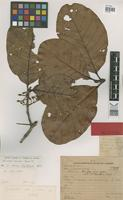 Holotype of Sloanea duckei C.E.Smith [family ELAEOCARPACEAE]