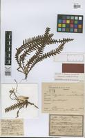 Holotype of Polypodium inaequale Fée [family PTERIDOPHYTA]
