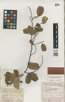 Holotype of Capparis cynophallophora L. var. praemorsa Rizzini [family CAPPARACEAE]