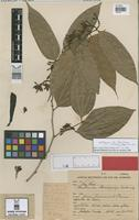 Syntype of Bauhinia brachycalyx Ducke [family LEGUMINOSAE]
