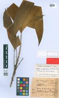 Holotype of Bactris kuhlmannii Burret [family ARECACEAE]