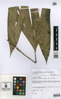 Paratype of Asplundia altiscandens E.S. Leal [family CYCLANTHACEAE]