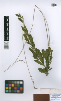 Isotype of Monnina [family POLYGALACEAE]