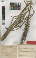 Holotype of Pitcairnia encholirioides L.B. Smith [family BROMELIACEAE]