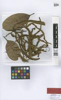 Holotype of Pachira aquatica Aubl. var. manausensis A.Robyns [family BOMBACACEAE]