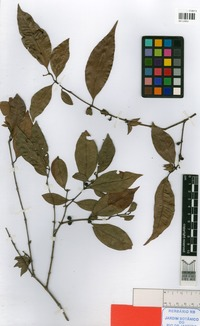 Isotype of Myrciaria pilosa Sobral & Couto [family MYRTACEAE]