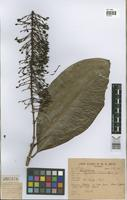 Syntype of Lophanthera lactescens Ducke [family MALPIGHIACEAE]