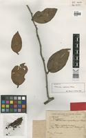 Isotype of Thibaudia cupatensis Huber [family ERICACEAE]