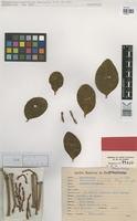 Isotype of Phoradendron simile Rizz. [family LORANTHACEAE]