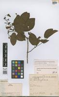 Isotype of Peixotoa catarinensis C.Anderson [family MALPIGHIACEAE]