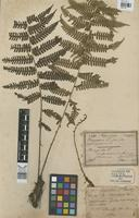 Isotype of Phegopteris gracilis Hew. guadalupensis [family PTERIDOPHYTA]
