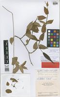 Holotype of Oxypetalum cordifolium (Vent.) Schltdl. subsp. harleyi Fontella & Goyder [family ASCLEPIADACEAE]