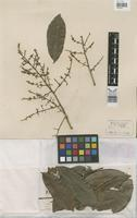 Holotype of Fagara williamii Albuq. [family RUTACEAE]
