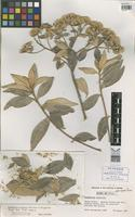 Holotype of Eremanthus seidelii N.F.F.MacLeish & H.Schumacher [family ASTERACEAE]