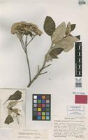 Holotype of Eremanthus uniflorus N.F.F.MacLeish & H.Schumacher [family ASTERACEAE]
