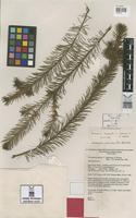 Isotype of Persoonia isophylla L.A.S.Johnson & P.H.Weston [family PROTEACEAE]