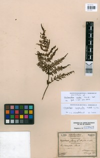 Syntype of Cheilanthes rudis Kunze [family PTERIDACEAE]
