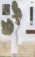 Isotype of Salacia sphaerocarpa Rusby [family HIPPOCRATEACEAE]