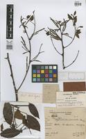 Holotype of Stryphnodendron rizzinianum Martins [family LEGUMINOSAE]