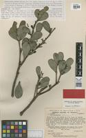 Holotype of Psittacanthus julianus C.T.Rizzini [family LORANTHACEAE]